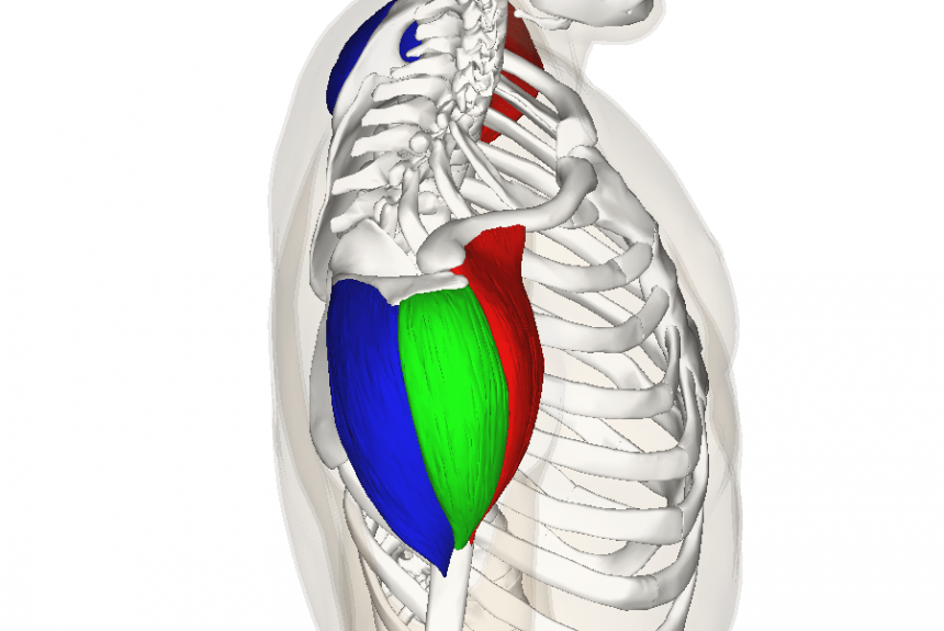 The Shoulder Muscle: Basics, Training and Treatment.